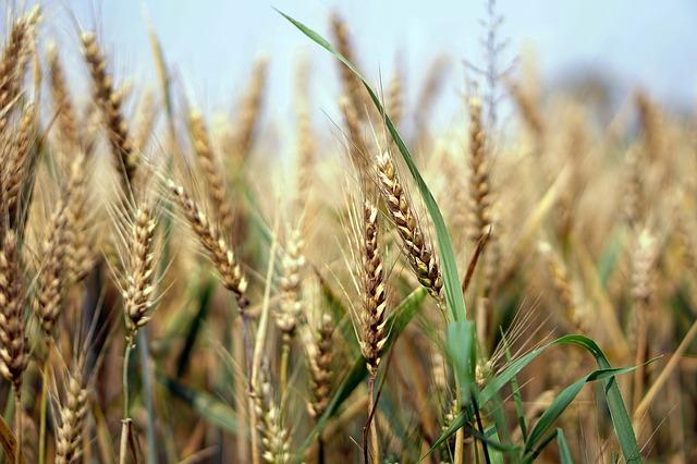 Baisse de la production mondiale des céréales