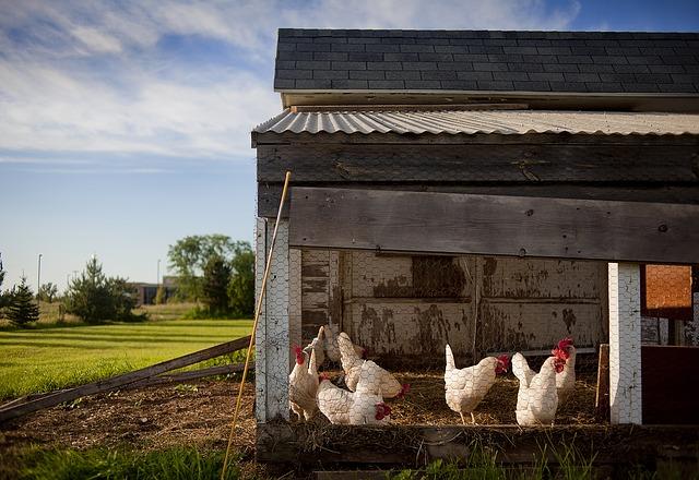 L'élevage de poulet en Inde
