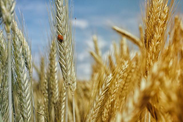 Production de blé haut de gamme